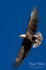 December 25, 2020 - Beautiful bald eagle flyby. (Tony's Takes)