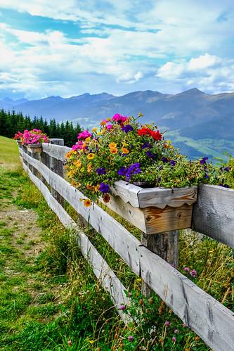 More Alpine geraniums boxes