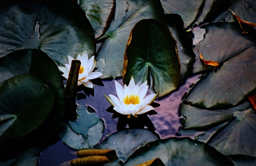 "Arboretum Ellerhoop 1996 (02) Lotus • <a style=""font-size:0.8em;"" href=""http://www.flickr.com/photos/69570948@N04/50782911892/"" target=""_blank"">View on Flickr</a>"