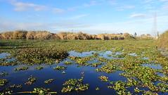 Choked with water hyacinth