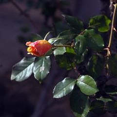 Les roses i les espines