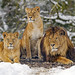 Three lions posing