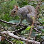 Squirrel at Wentwood Forest