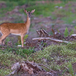 Fallow Deer at Wentwood Forest