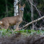 Roe Deer at Wentwood Forest