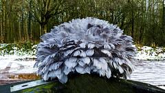 Lesser Oozelum Bird.