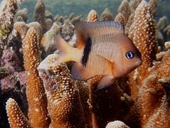 Blackbar devil damsel fish (Plectroglyphidodon dickii)