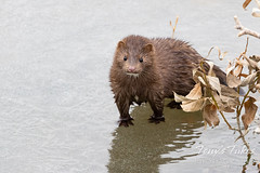 January 1, 2021 - An American mink makes an appearance. (Tony's Takes)