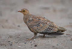 """Dubbelbandsandpatrys / Double-banded sandgrouse (Pterocles bicinctus) • <a style=""""font-size:0.8em;"""" href=""""http://www.flickr.com/photos/94652897@N07/50805185743/"""" target=""""_blank"""">View on Flickr</a>"""