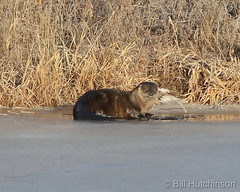 January 2, 2021 - A rare sighting of an river otter. (Bill Hutchinson)