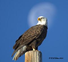 January 3, 2021 - A gorgeous bald eagle and the moon. (Ed Dalton)