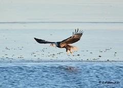 January 3, 2021 - A bald eagle fishes in Thornton. (Ed Dalton)
