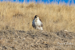 January 3, 2021 - A ferruginous hawk stands guard. (Tony's Takes)