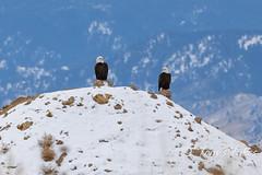 January 1, 2021 - Bald eagles take the high ground. (Tony's Takes)