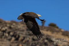 January 2, 2021 - A bald eagle takes flight. (Tony's Takes)