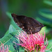 leaf mimic butterfly - Entopia Butterfly Farm - Teluk Bahang, Penang Island, Malaysia
