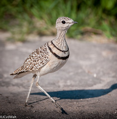 """Dubbelbanddrawwertjie /  Double-banded courser (Rhinoptilus africanus) • <a style=""""font-size:0.8em;"""" href=""""http://www.flickr.com/photos/94652897@N07/50806607222/"""" target=""""_blank"""">View on Flickr</a>"""