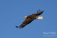 January 6, 2021 - A bald eagle takes flight in Adams County. (Tony's Takes)
