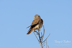 January 6, 2021 - Female American kestrel hanging out. (Tony's Takes)