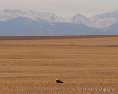 January 7, 2021 - A bald eagle hanging out on the plains. (Bill Hutchinson)