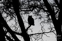 January 7, 2021 - A great horned owl at dusk. (Tony's Takes)