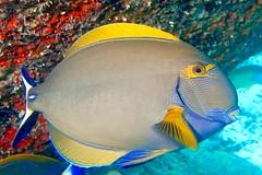 Eyestripe surgeonfish - Chirurgien couronné (Acanthurus dussumieri)
