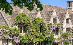 Photo of Wisteria adorning the facade of the Bay Tree Hotel, Burford, Oxfordshire, England