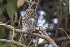 A Surprising find - A Jungle Owlet
