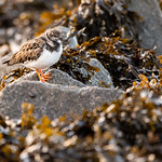 Turnstone looking for food, Aberthaw