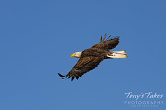 Young bald eagle flyby