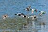 Northern Shoveler Ducks Flying Away