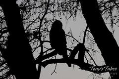 Great horned owl after dark