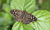 Speckled Wood (Pararge aegeria).