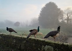 Photo of Cheshire peacock fog