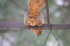 Backyard Red & Fox Squirrels (Ypsilanti, Michigan) - 11/2021 214/P365Year13 4597/P365all-time (January 11, 2021)