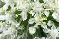 20210112_0712_7D2-50 18mm of Shallot flower (012/365) (003/100)