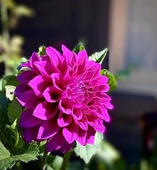 12/365 Delightful Dahlia in the most luscious purple.
