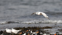 Photo of Sandwich tern