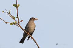 An Indian Blackbird enjoying the morning sun