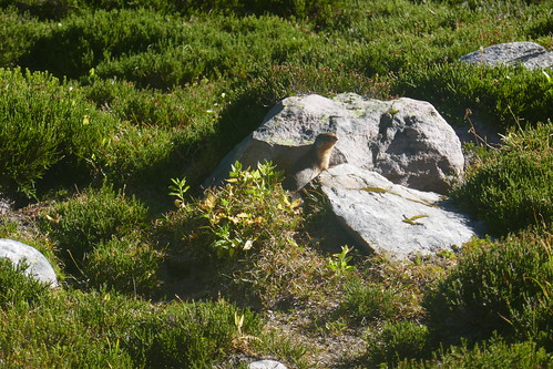 Jasper NP - Mont Edith Cavell - Marmotte