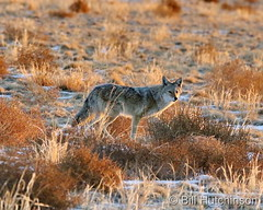 January 12, 2021 - Coyote on the prowl. (Bill Hutchinson)