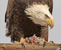 January 9, 2021 - Bald eagle with breakfast. (Bill Hutchinson)