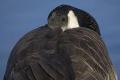 Canada Goose  13/365