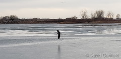 January 13, 2021 - A bald eagle visits McKay Lake in Broomfield. (David Canfield)