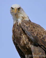 January 13, 2021 - An eagle with attitude. (Bill Hutchinson)
