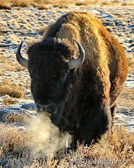 January 12, 2021 - Bison on the move. (Bill Hutchinson)