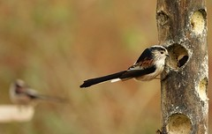 Photo of Long tailed tits..