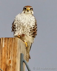 January 9, 2021 - Prairie falcon on a pole. (Bill Hutchinson)