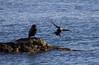 Cormorant  153