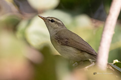A New Sighting for me - Hume's Warbler